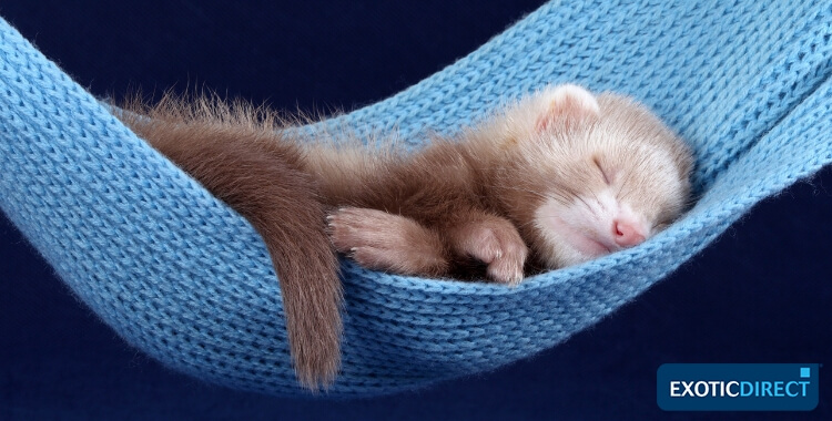 ferret sleeping in a hammock