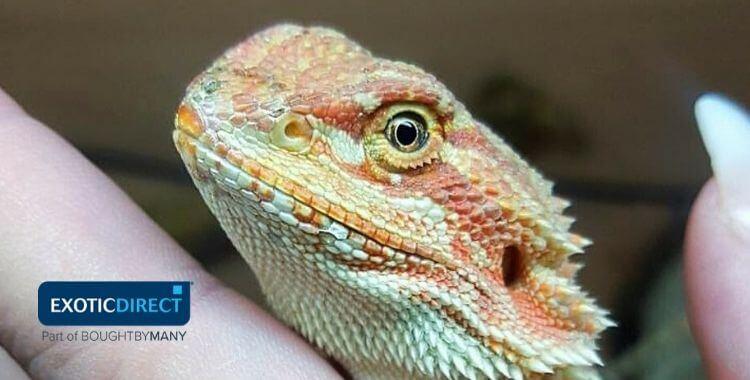 Best Pet Lizards Exoticdirect