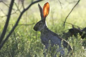 Communications concept - A long-eared rabbit listening for something