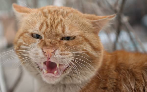 Obviously angry cat