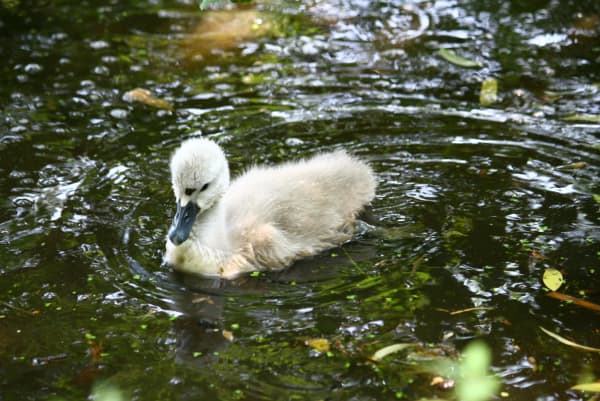 A baby swan swimming