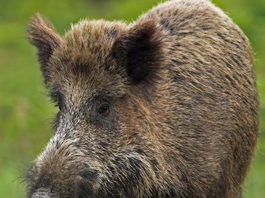 Environmental Ethics: Eurasian Boar