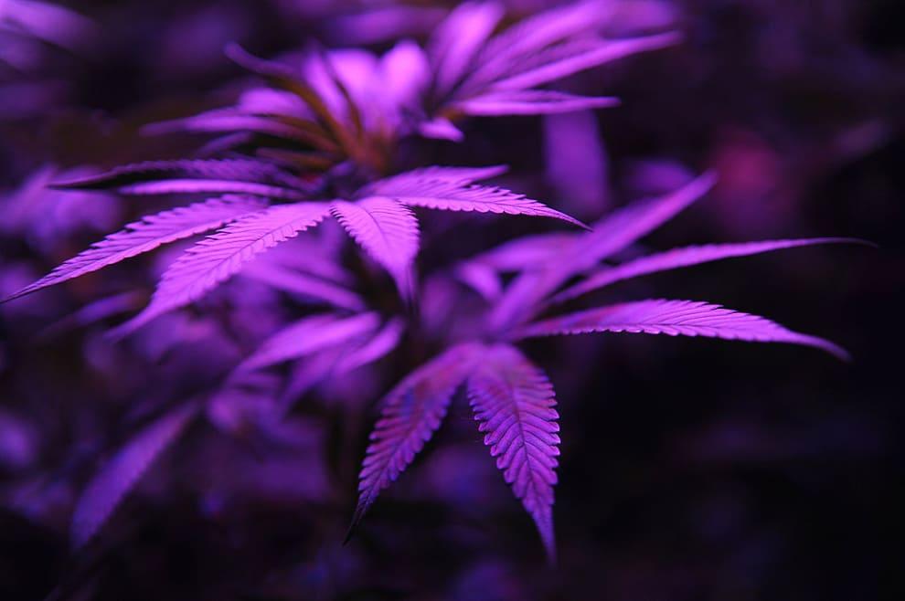 Folhas de maconha sob a luz roxa