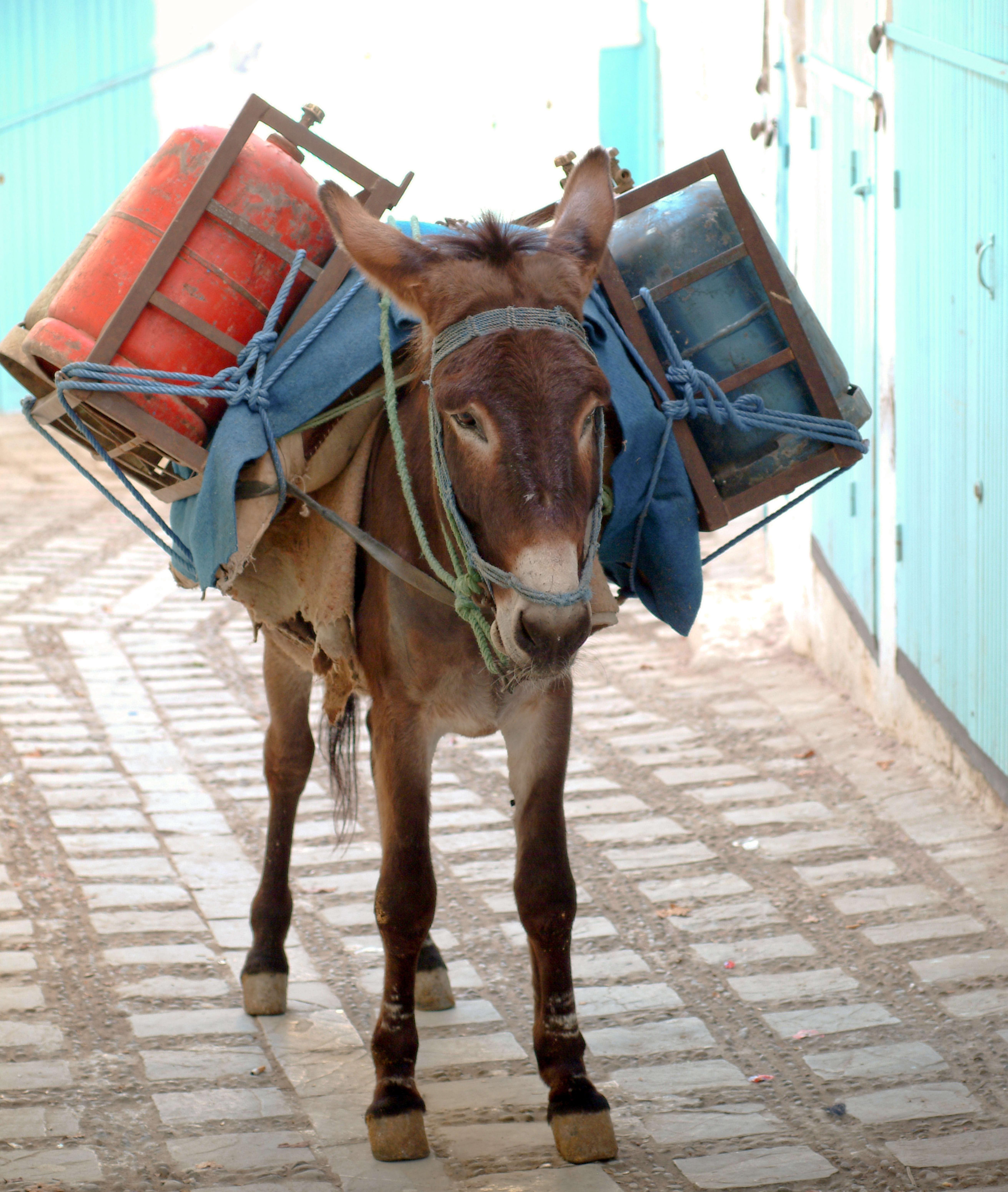 Um burro carregando dois botijões.