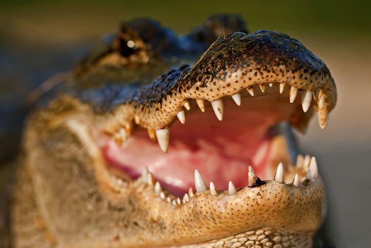 Closeup of a gator