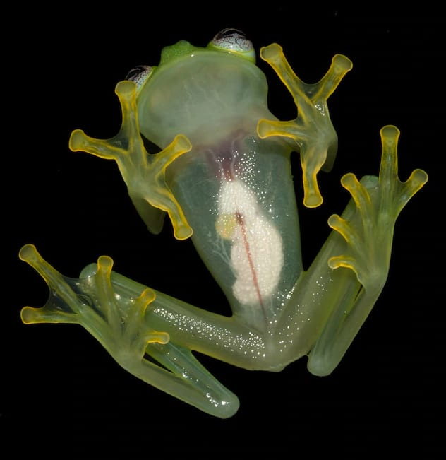 The frog's translucent underbelly through which you can see its organs