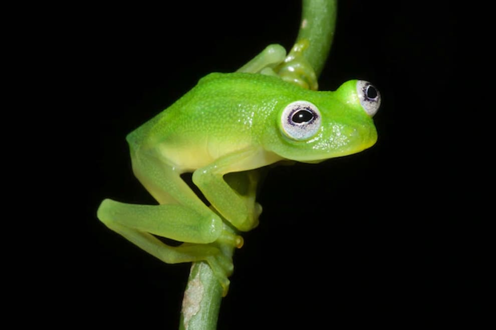 A frog with the same coloring and protruding eyes as Kermit