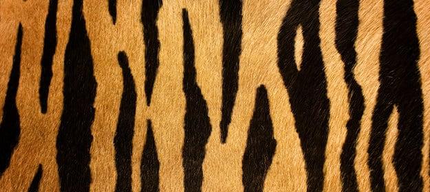 Ondas pretas grossas listradas em um pêlo laranja.