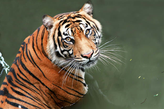 Foto de um tigre.