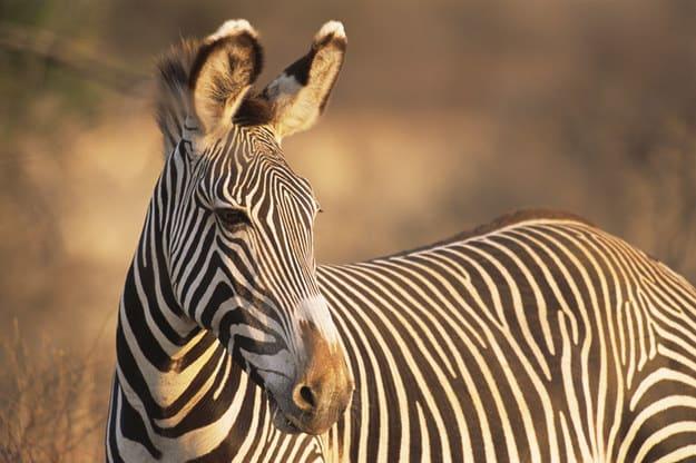 Foto de uma zebra.