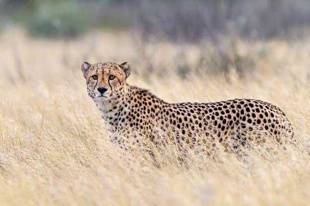 Foto de um guepardo.