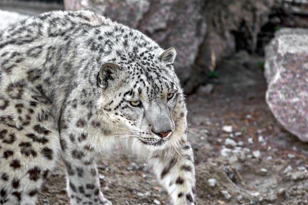 Foto do leopardo.