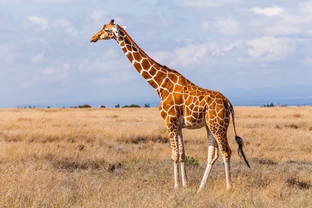 Foto de uma girafa.