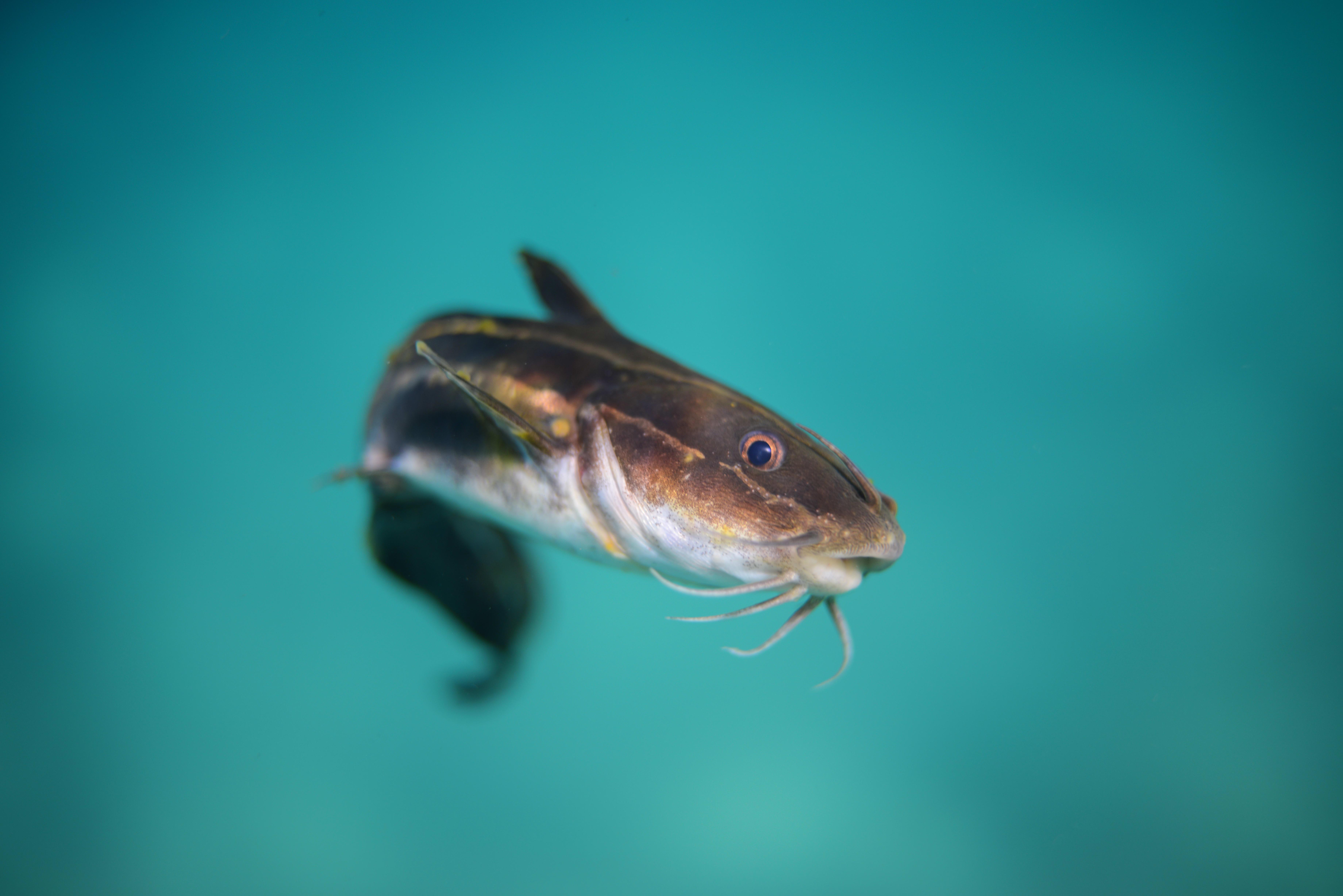 black cat fish