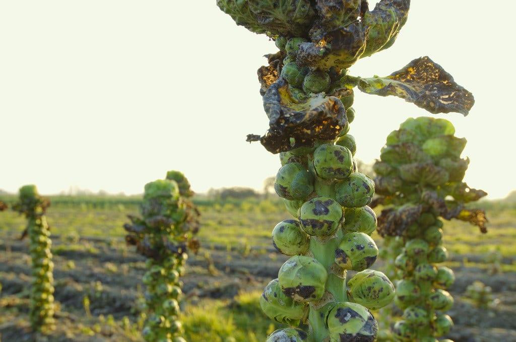 Foto de uma plantação de couve-de-bruxelas.