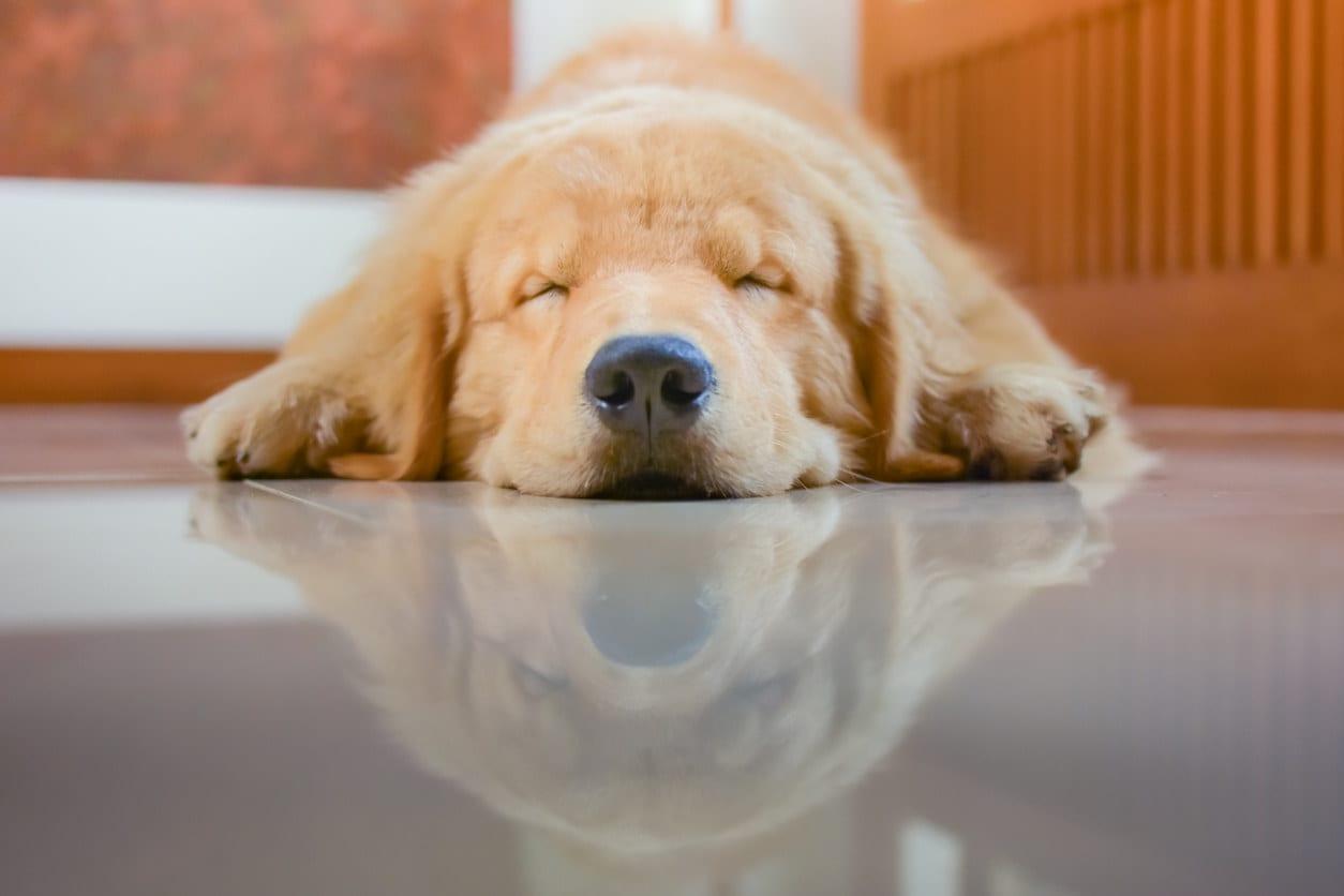 A golden retriever dog lying on its stomach sleeping