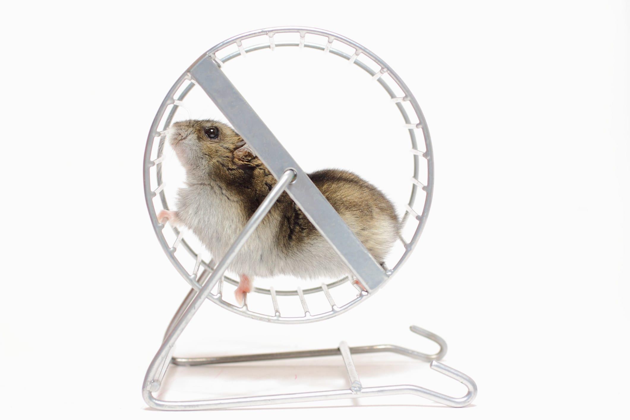 Um hamster pequeno em uma roda