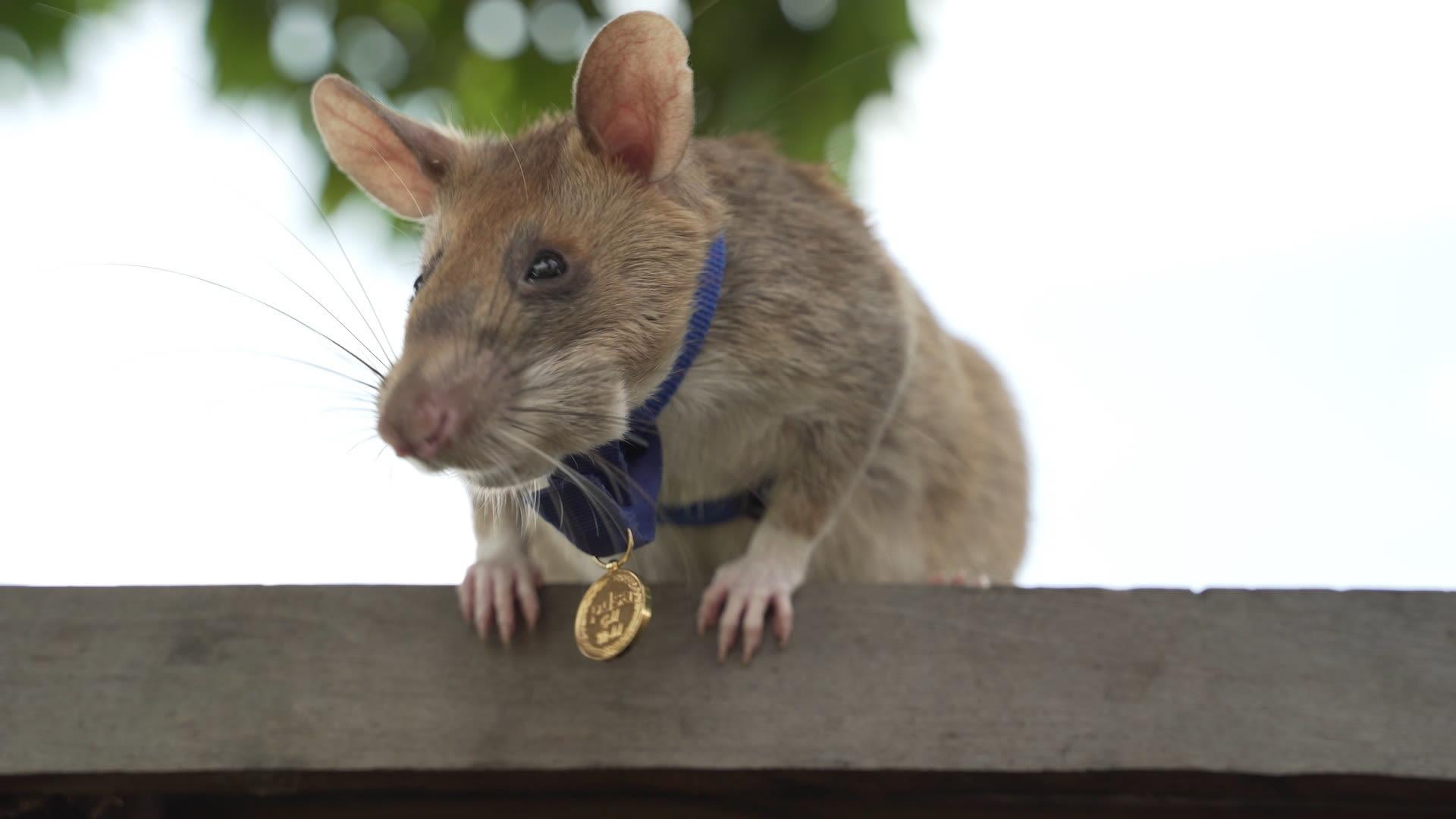 Magawa usando uma mini-medalha de ouro no pescoço