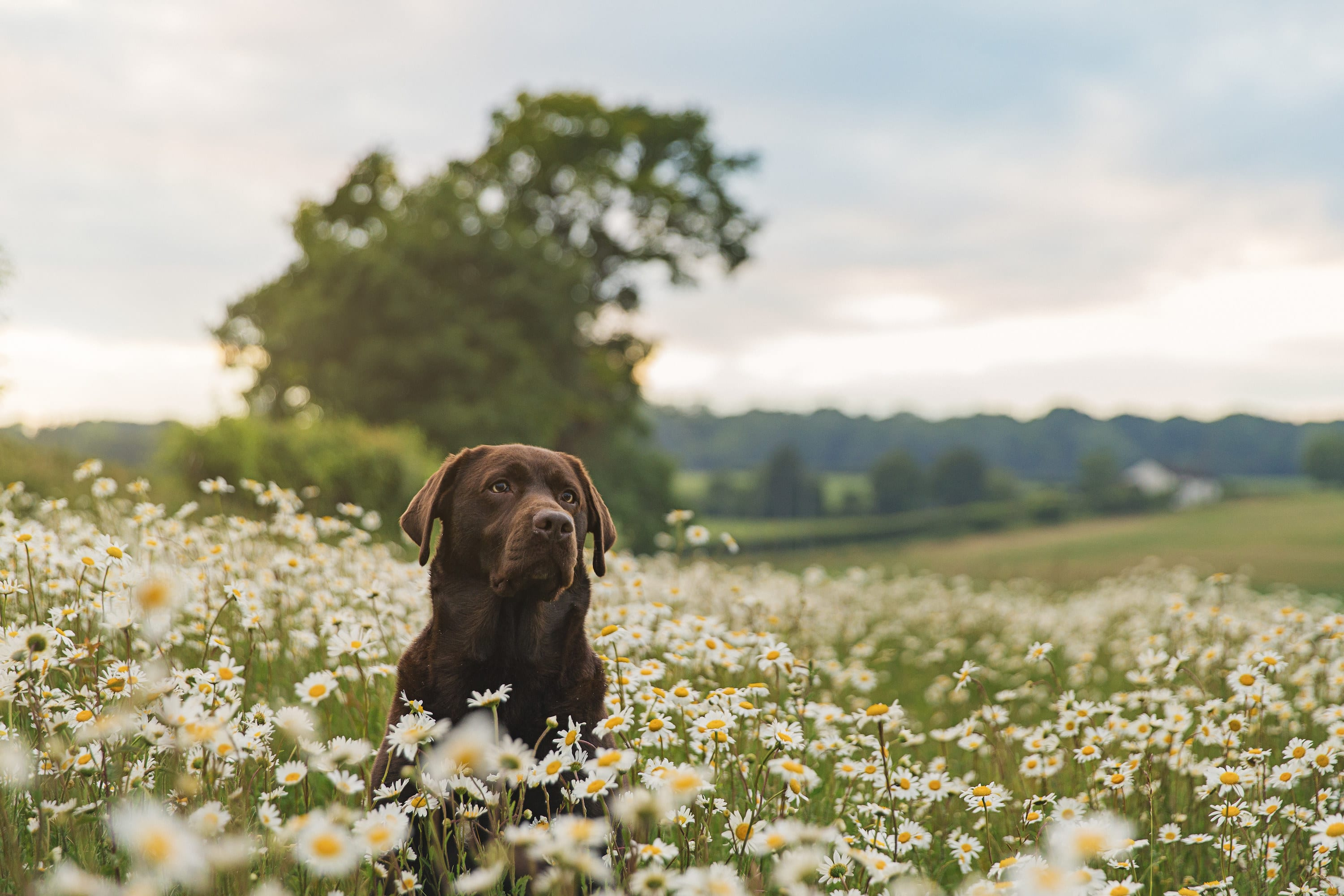 A chocolate lab in a field of flowers, open field and tree behind it