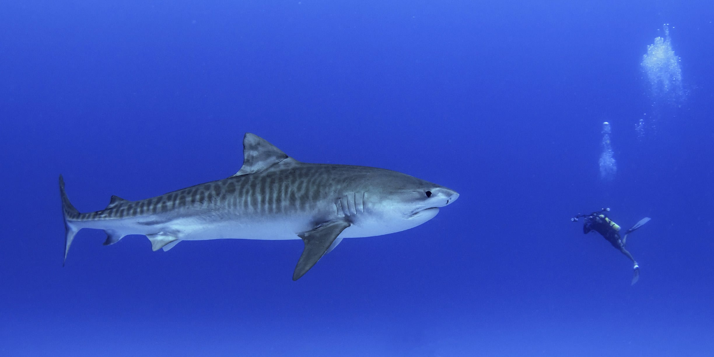 A deep diver swimming in front of a huge tiger shark