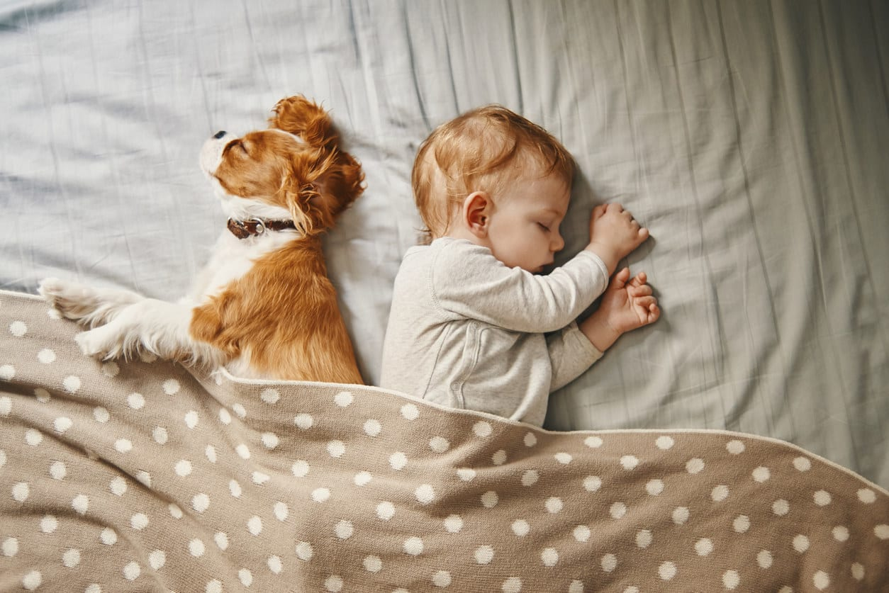 A Cavalier King Charles spaniel sleeping in bed with a baby under a blanket