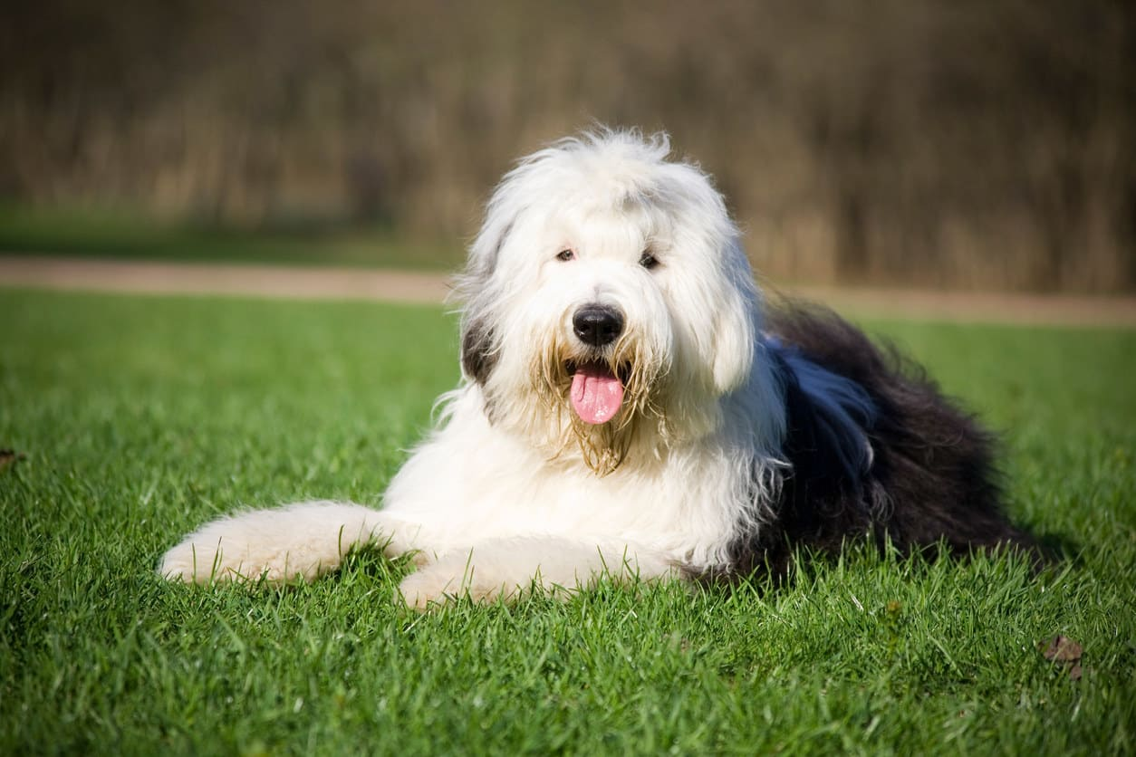 An Old English sheepdog lying in the grass with its tongue out