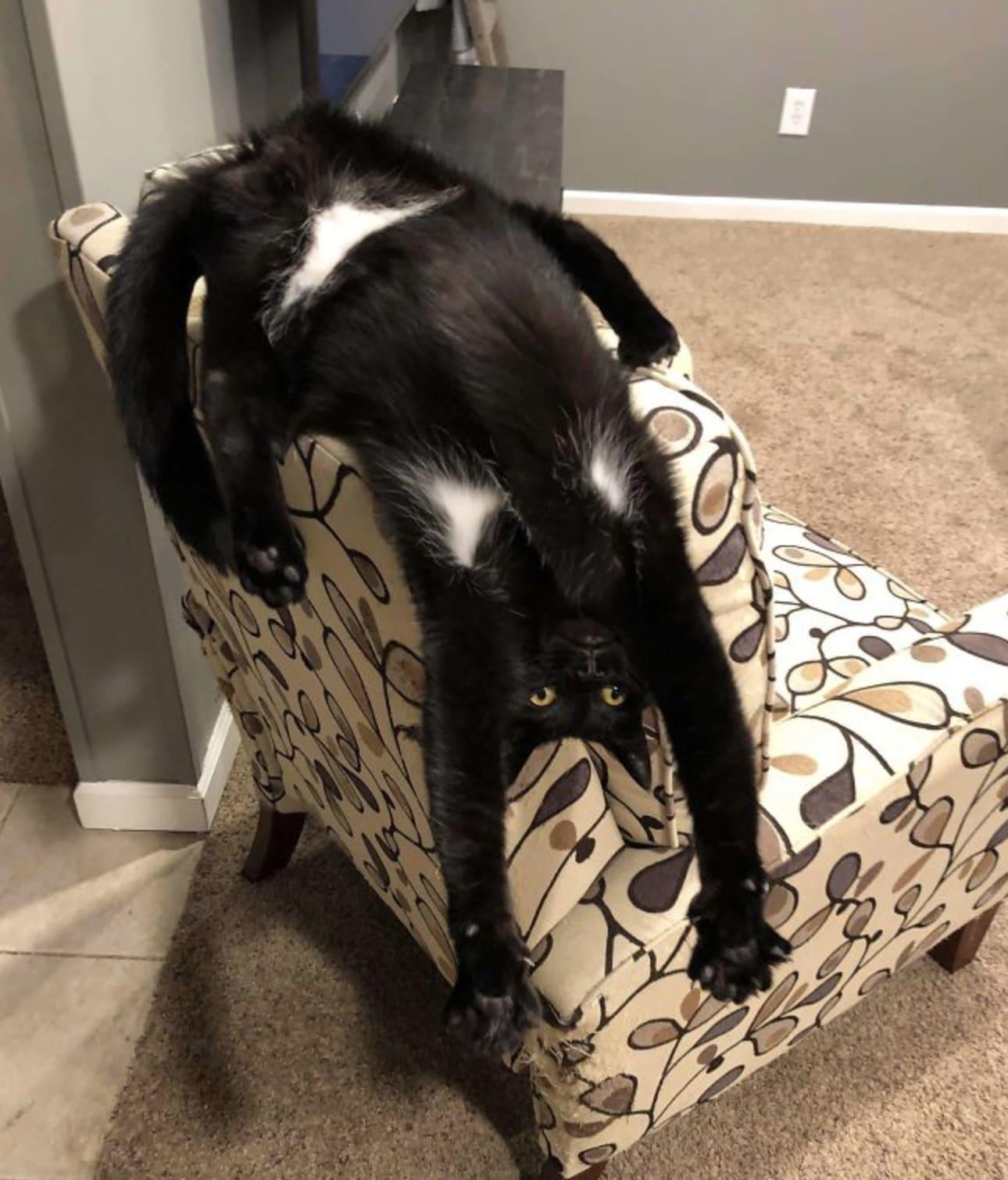Gato pendurado de uma cadeira.