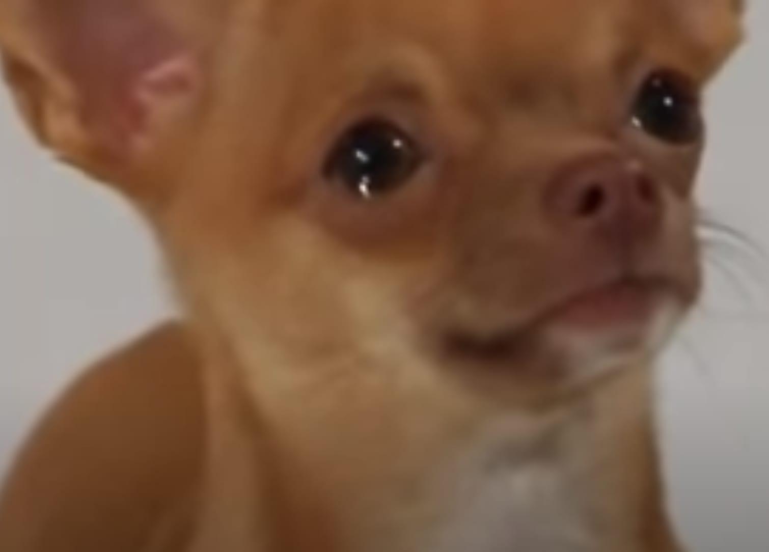 Um chiuahua chorando