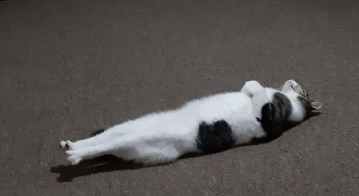 Gato deitado reto de costas.