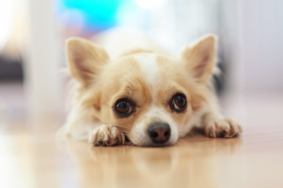 A Chihuahua dog lying on its stomach