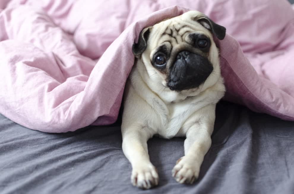A pug dog lying in a bed under a blanket