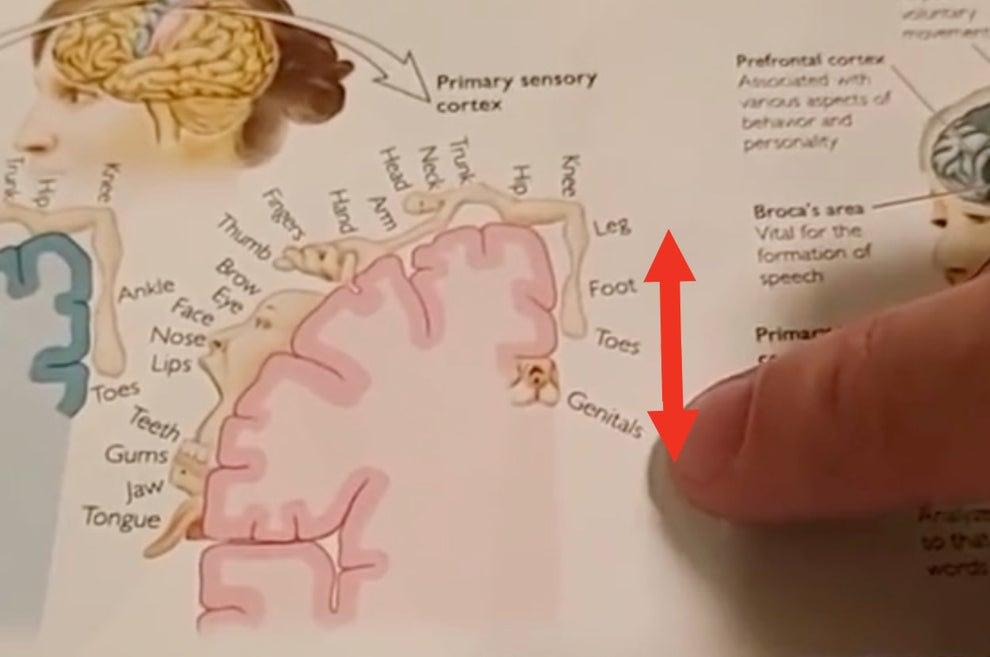 A diagram of the somatosensory cortex