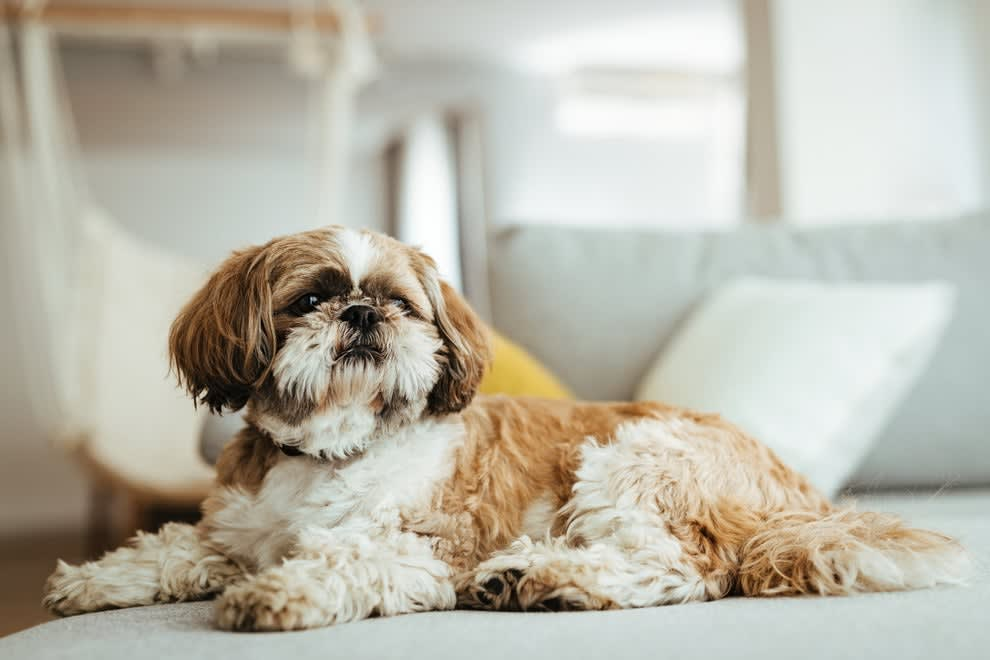 A shih tzu dog lying on a couch with its head up
