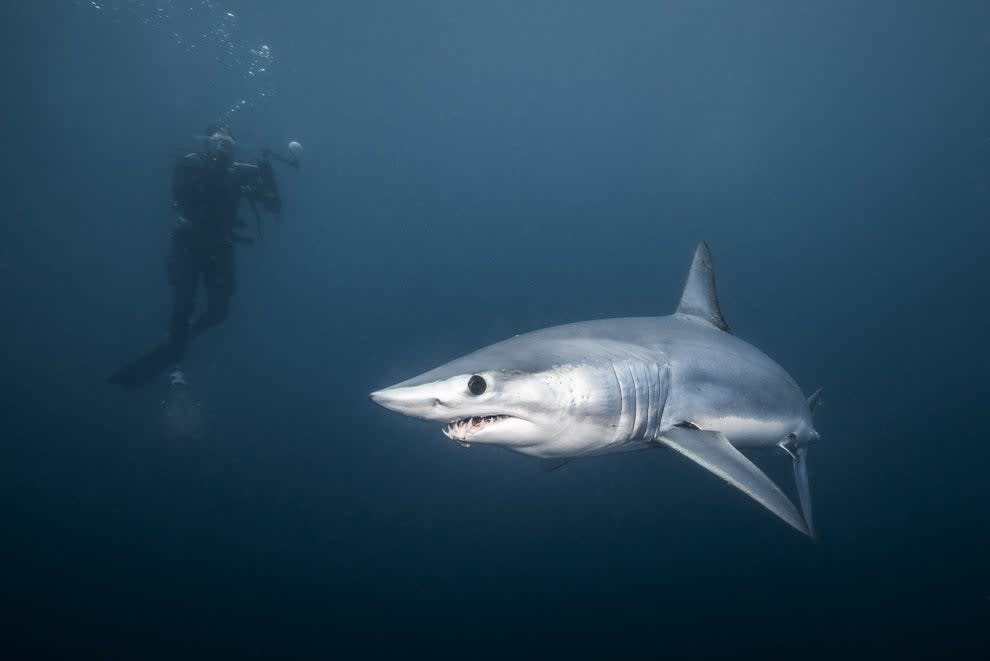 A mako shark swimming and a person floating above