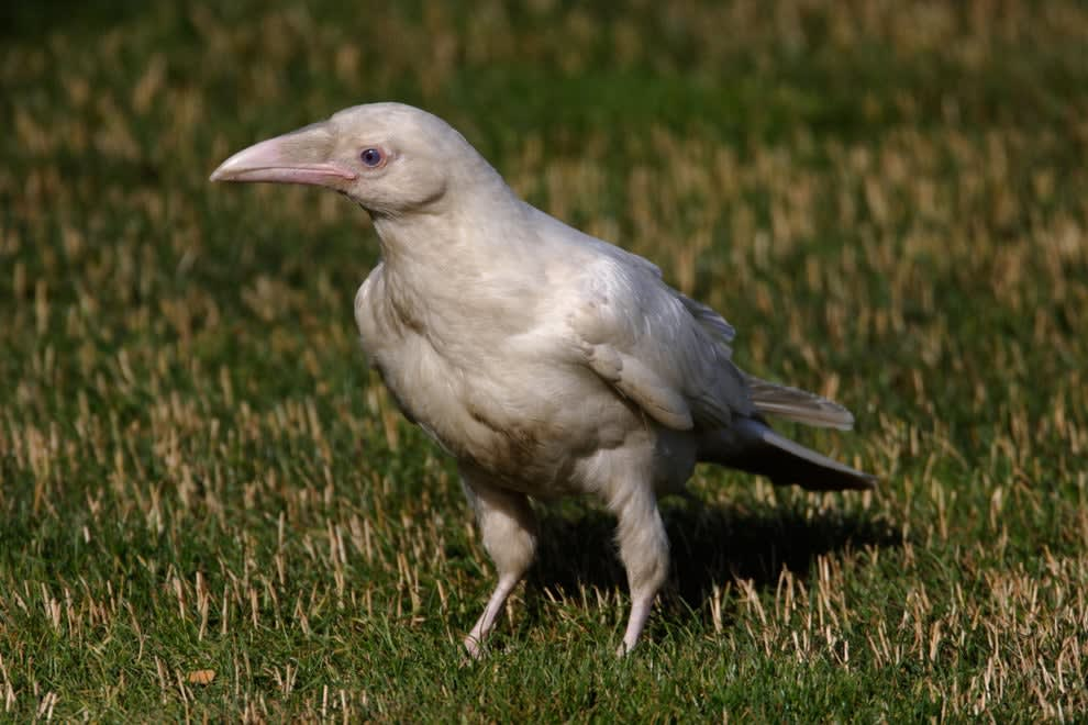 An extremely rare, all white raven