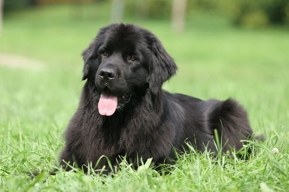 A Newfoundland dog laying in grass with its tongue out