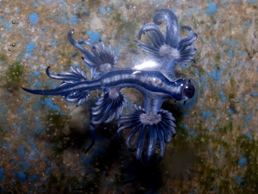 dragão azul que lembra uma criatura alienígena ou um ser fantástico