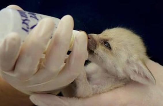 Veja estes lindos filhotes de raposa-do-deserto tomando mamadeira