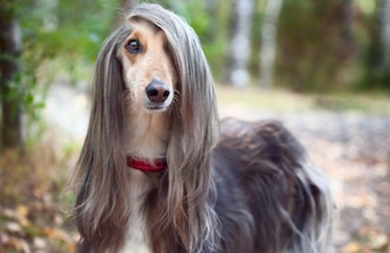 Diga quantas raças de dog você conhece e adivinharemos sua idade