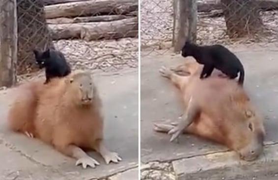 Um gato fez massagem em uma capivara e todo mundo adorou
