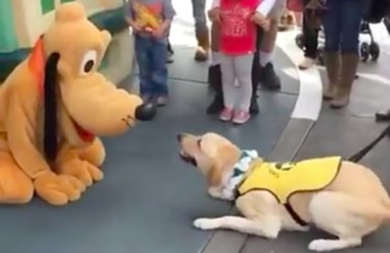 Veja como este cão-guia ficou feliz quando conheceu o Pluto na Disney