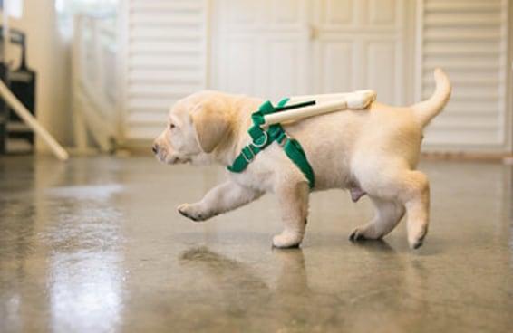 Filhotes que ajudarão cegos estão sendo treinados com estas adoráveis mini-guias