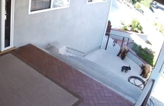 Uma buldogue francês espantou dois ursos que apareceram em seu quintal