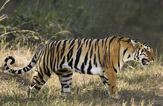 A população de tigres aumentou pela primeira vez em 100 anos
