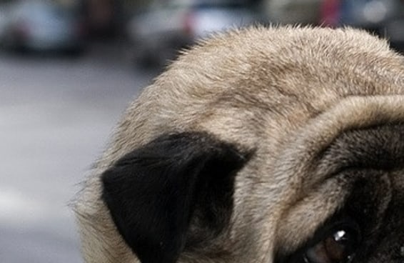 10 pugs que se parecem com outras coisas