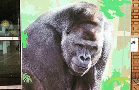 Este gorila é tão bonito que as mulheres estão se reunindo no zoológico para vê-lo