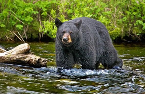 Uma mulher foi atacada por um urso enquanto corria uma maratona