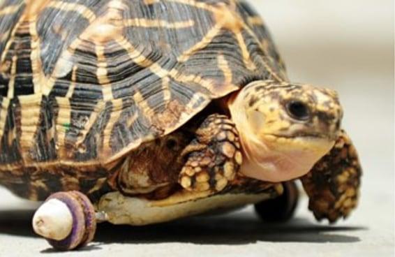 Esta tartaruga perdeu a perna mas ganhou rodinhas para conseguir se locomover