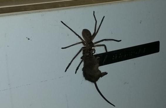 As pessoas estão surtando com este vídeo de uma aranha carregando um rato