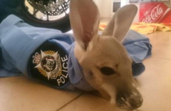 Policiais adotaram um adorável canguru órfão que agora vai ajudá-los a lutar contra o crime